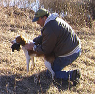 Training Your Brittany to Hunt